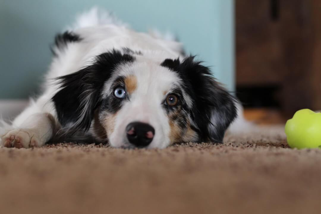 best carpet cleaner in reno for pet urine and pet stains